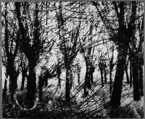 Zdjęcie Edwarda Hartwiga przedstawiające wierzby