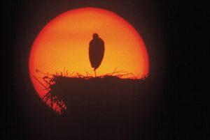 Zdjęcie Wiktora Wołkowa z cyklu Pejzaże, przedstawiające bociana w gnieździe na tle tarczy słońca